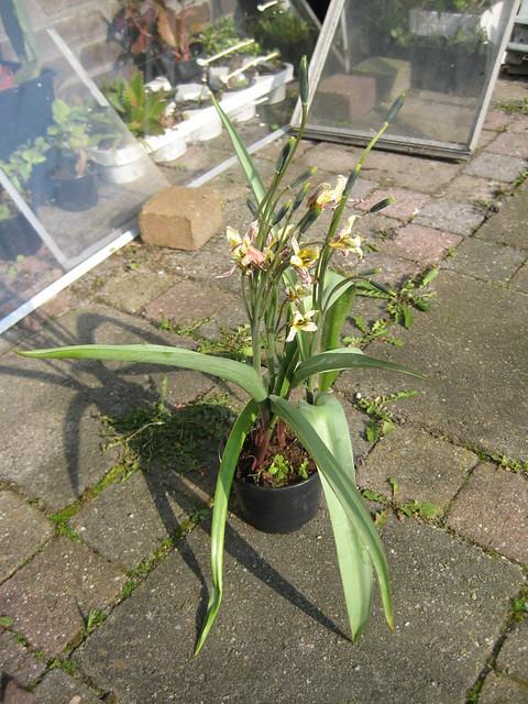 Tulipa turkestanica - Calandstr, Leiden, NL 12 Apr 2010 04 Leo