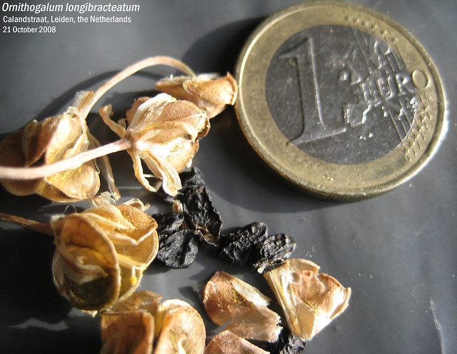 Albuca bracteata - Seeds & Frt Calandstraat, Leiden, NL 21 Oct 2008 04 Leo