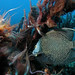 Fri, 11/11/2005 - 00:06 - Excess nutrient concentrations, caused by a nearby sewage outfall in Delray Beach (Florida), have likely contributed to the development of a cyanobacterial bloom on several downcurrent reefs in Florida. Photo Credit: Palm Beach County Reef Rescue   Marine Photobank