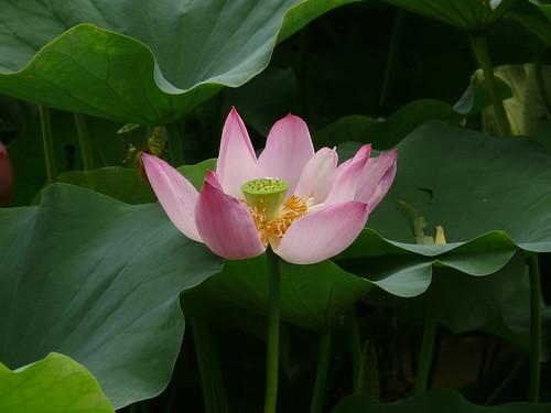 Lotus | by NikoMC