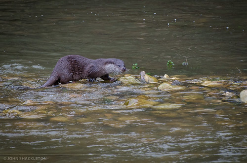 Otter / Nutria (Lutra lutra)   by john_shackleton