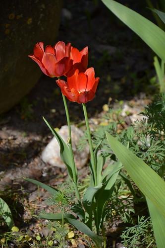 Tulipa - espèces et petits hybrides (sections 12 à 15) 32900038052_0068850ab7