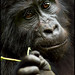 Mountain Gorilla by Edgar Thissen