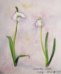 My first watercolour painting of  'Galanthus nivalis' ^ ^ 水彩画・待雪草   by Shimizu Satsuki