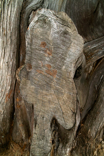 aiken southcarolina winter tree cedar sawcut scar carlfbagge