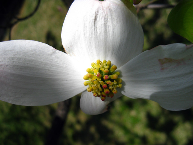 Cornus florida Flower, TTU Campus, Cookeville, TN
