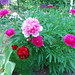 Chinese Peony - Photo (c) Ting Chen, some rights reserved (CC BY-SA)