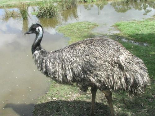 Dromaius novaehollandiae (Emu) - captive | by Arthur Chapman