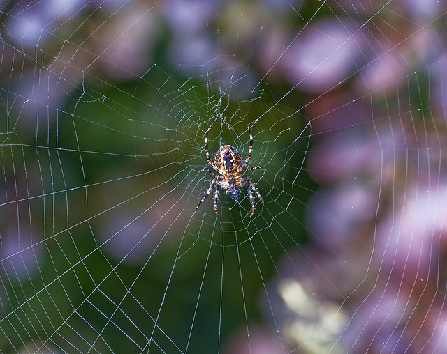 Gardenspider in his web
