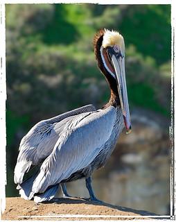 Brown Pelican in La Jolla