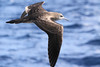 Wedge-tailed Shearwater by marj k