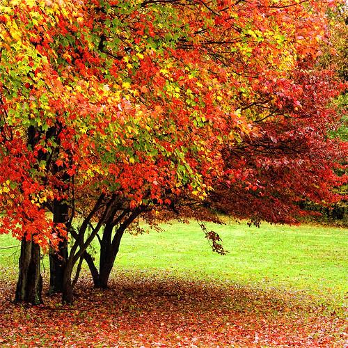 autumn trees yards red fall grass nikon seasons fallcolors maryland overcast autumnleaves squareformat nikkor rainydays 1755 southernmaryland supershot df300 calvertcountymaryland sunderlandmaryland huntingtownmaryland natureselegantshots