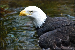 Eagle Close Up | by zenseas