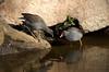 Dusky Moorhen, Gallinula tenebrosa adult and young by Andy Burton Oz