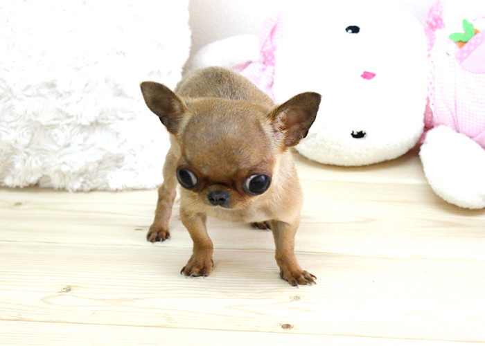Micro Teacup Chihuahua CoCo | Boutique Teacup Puppies www bo… | Flickr