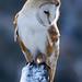 Barn Owl - MG_9336 by barnowlprints.com