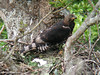 Crowned Hawk-Eagle by Harold Stiver