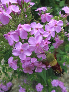 Spotted Phlox (with hummingbird moth) | by capemaynativeplants