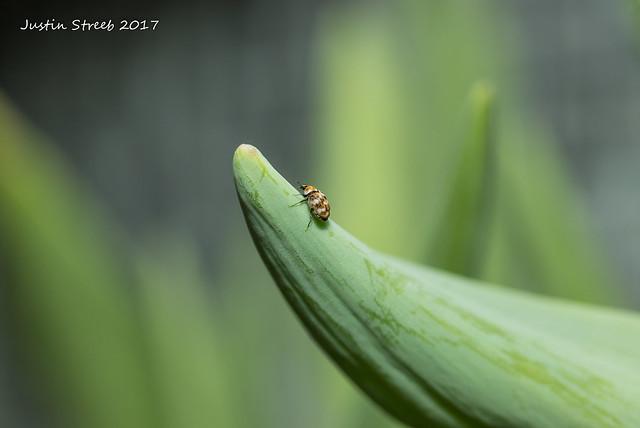 Carpet Beetle_