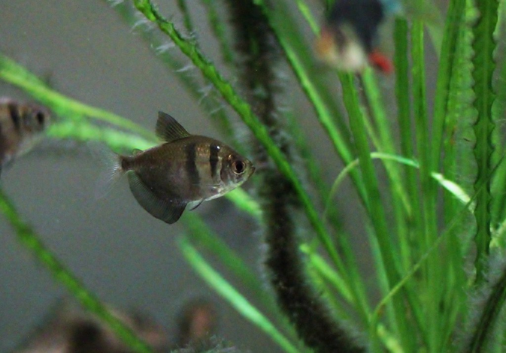 Black Skirt Tetra swimming in an aquarium.