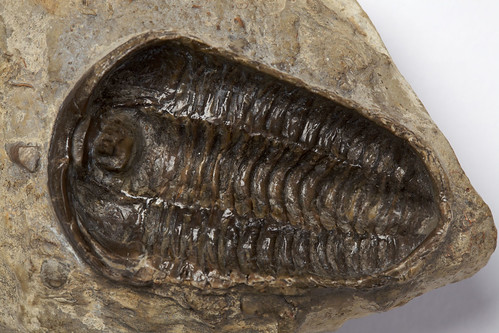 Trilobite fossil, Calymene blumenbachii, 000426 | by Black Country Museums