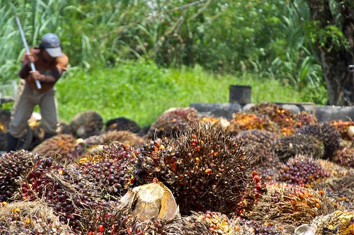 Palm Oil Fruit Harvest   by pixelthing