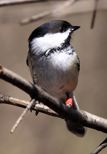 Black-capped Chickadee detail