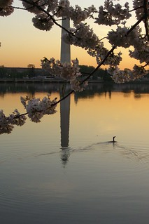 Washington Monument and Cherry Blossoms at Dawn | by samirluther