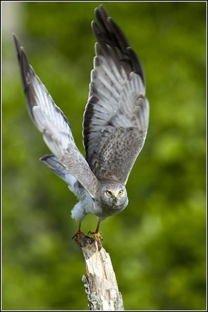 Hawk (Northern Harrier) - 0373