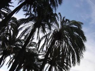 anatomía del parque de la victoria de jaén: palmeras | by olgaberrios