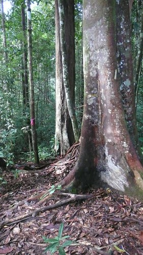 Thu, 03/13/2008 - 07:50 - Kuala Belalong Forest. Plot location. Credit: CTFS