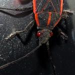 Halloween Bug