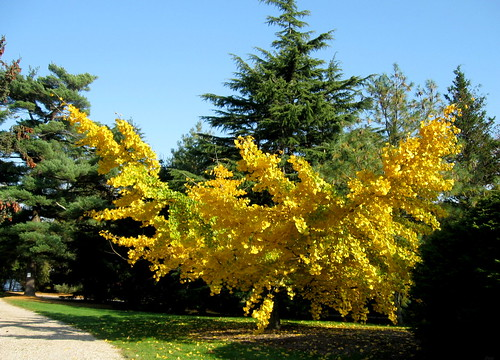 Glowing Gingko | by Puzzler4879