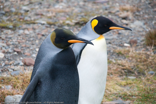 Black King penguin next to normal King penguin | by BonaireYana