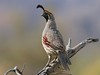 Happy Father's Day: Gambel's Quail by spiderhunters