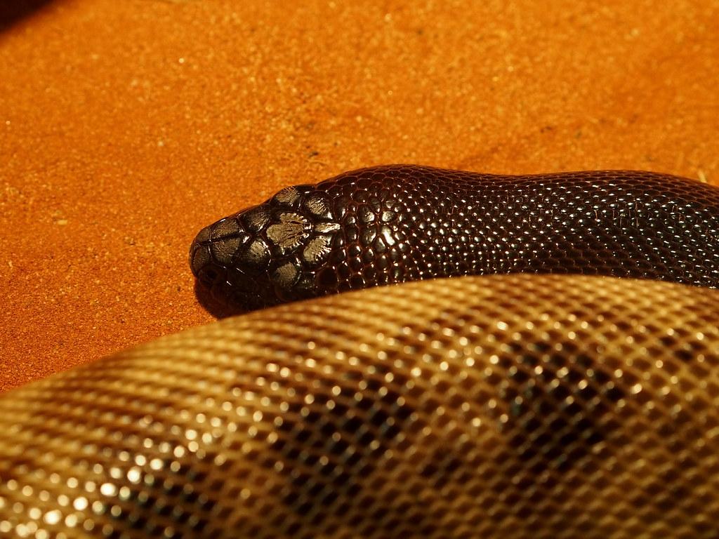Black headed python III   In Lone Pine Tree Koala Sanctuary