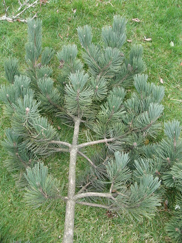 Pine Branch, Large | by Oregon Coastal Flowers