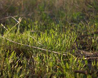 Kentucky Glade Cress (Leavenworthia exigua laciniata) | by btsiders