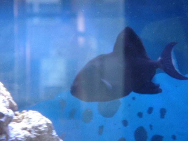 My fish - Blennie Attack