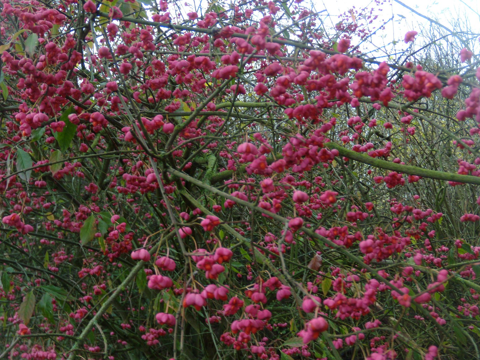 Spindle Quite a fine example. Amersham round walk