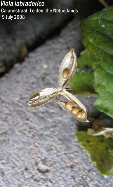 Viola labradorica - fruit with seeds Calandstr, Leiden, NL 9 July 2008 03 Leo