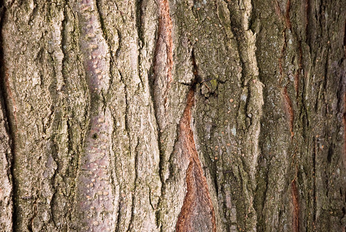 tree bark texture | by Elkidogz