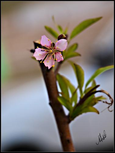 pakistan macro tree green leaves insect spring blossom gardening almond hobby ants blossoming hapiness islamabad passtime phool badaam badam bahaar bahriatown darakht spring2010 blossomingalmondtree mausamebahaar badamkadarakht
