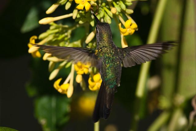 Cuban Emerald Chlorostilbon ricordii