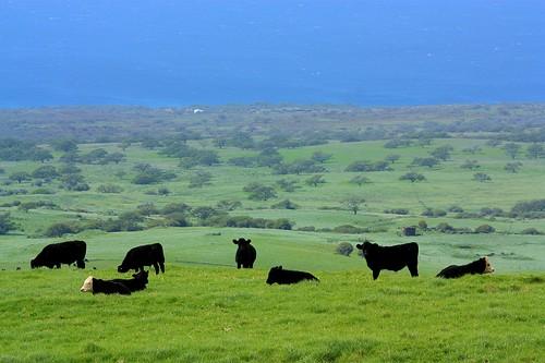 travel water grass canon geotagged eos hawaii cow highway day meadow pacificocean bigisland bovine xsi kohala quadruped route250 statehighway eos450d henrylee kawaihae canonef70300mmf456isusm 450d flickraward kohalamountainroad fotoeins geo:lat=20070746 geo:lon=155760089 tpatravel henrylflee hi250 fotoeinscom