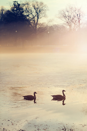 thaw february warm morning sunrise park elmpark worcester massachusetts weather fog foggy mist canadian geese nikon nikkor chancyrendezvous davelawler blurgasm lawler