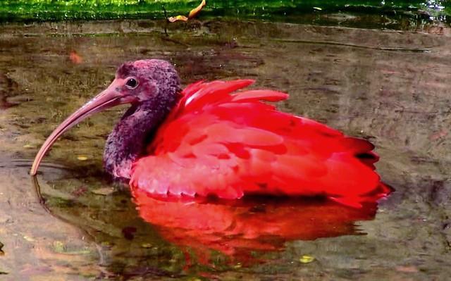 Brasilien-Iguassu-Parque das Aves, Roter Ibis - 2