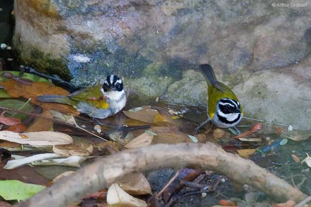 Arremon taciturnus - Pectoral Sparrow
