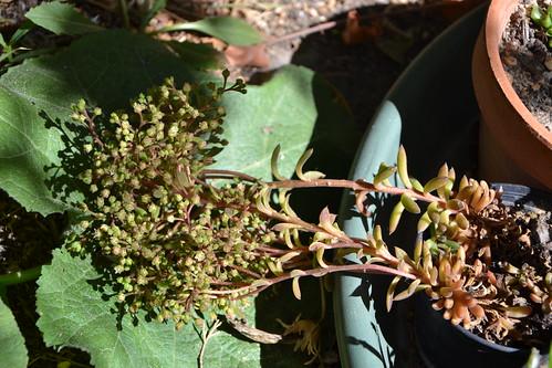 Sinocrassula yunnanensis 32938697775_c1d9dd576b