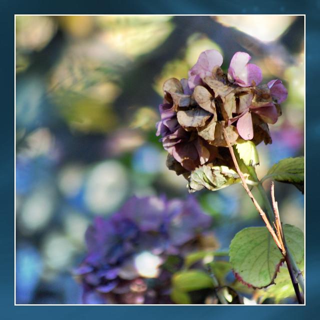 fall hydrangea . . .